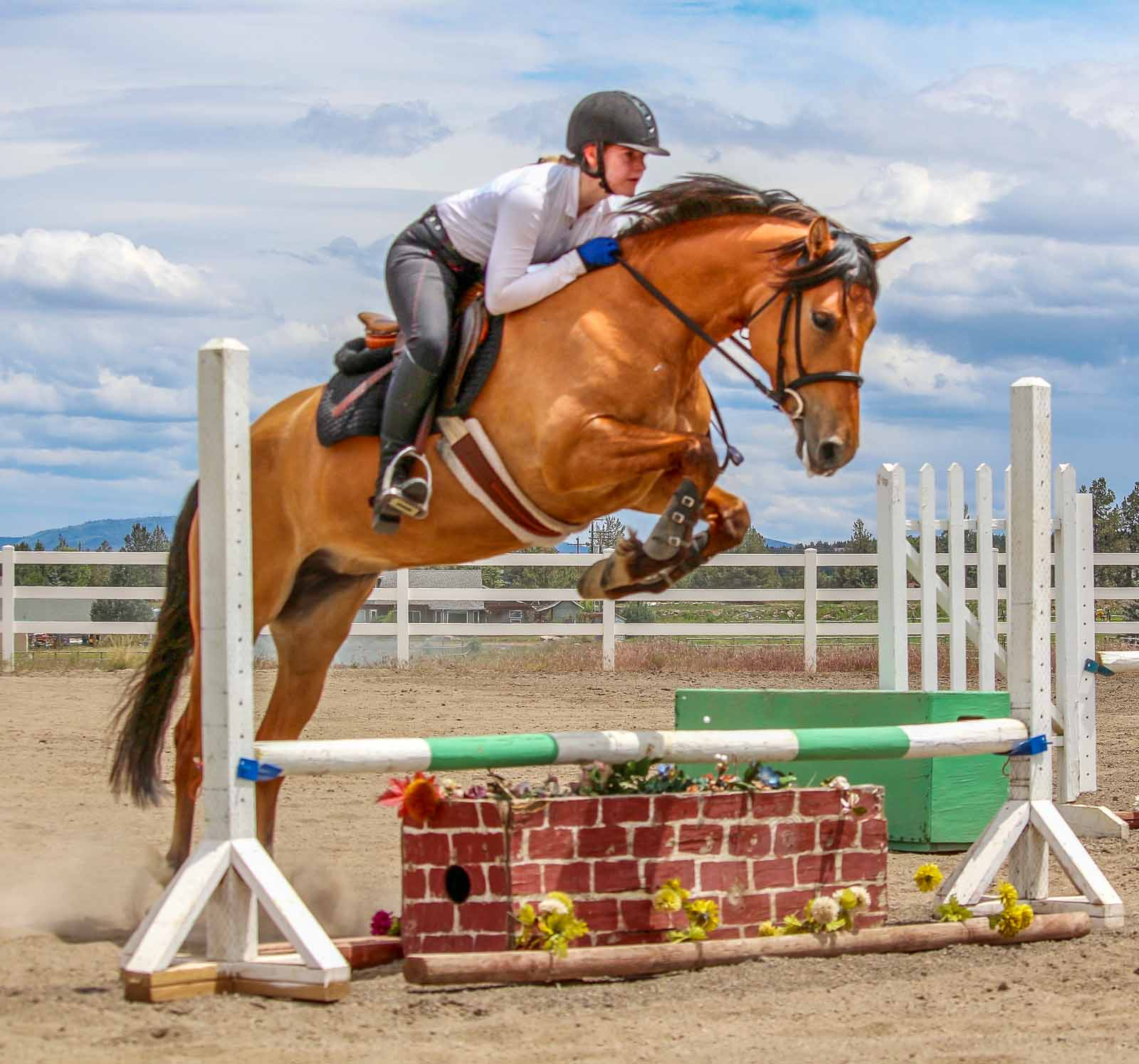 2012 Stunning Welsh Cob Mare By North Forks Cardi Silver Tail Farm