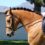 2012 Stunning Welsh Cob mare by North Forks Cardi